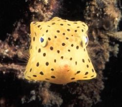 This juvenile box fish was taken on my last dive in Lembe... by Paul Hunter
