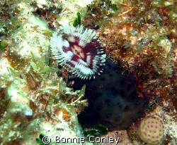 Split-crown feather duster seen at Isla Mujeres May 2008.... by Bonnie Conley