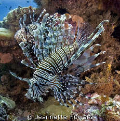 pair of lion fish taken in Raj Ampat: Nikon D70 by Jeannette Howard