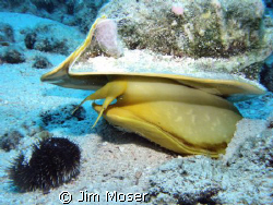 Horned Helmet getting ready to eat urchin.  If you look c... by Jim Moser