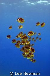 Racoon Butterflyfish in open water, Honokohau Harbor, Haw... by Lee Newman