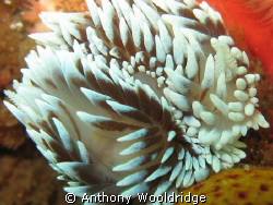 Two Silver nudibranches mating, you can see the one on th... by Anthony Wooldridge