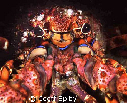 east coast rock lobster, Aliwal Shoal, South Africa by Geoff Spiby