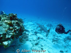 Large Barracuda in Cozumel. by Allen Weaver