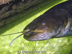 Catfish portrait from lake Bled by Dejan Mavric