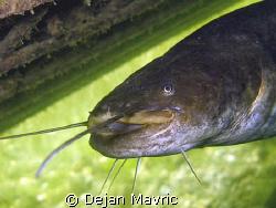 Catfish portrait from lake Bled by Dejan Mavric