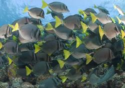 Yellow tail Surgeonfish. Santiago. Galapagos. D200, 10.5mm. by Derek Haslam