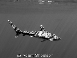 Off the coast of Hawaii we jumped in the water with a pod... by Adam Shoelson