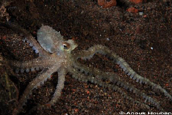 A juvenile mimic octopus. Picture taken during a nightdiv... by Anouk Houben