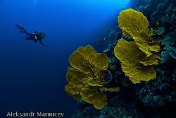 Fan Coral, 30m, Canon 1Ds MII, Subal, fish eye by Aleksandr Marinicev