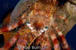 Hermit Crab taken in Bodrum, Turkey. D300, 60mm Macro & W... by Kay Burn Lim