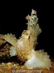 Leaf Scorpionfish by Volker Katzung