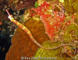 Pipefish. Corythoichthys nigripectus. by Bea & Stef Primatesta
