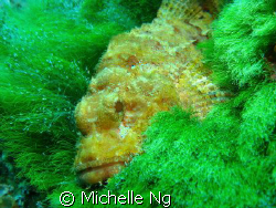 The scorpion fish looked so comfortable on the sea grass.... by Michelle Ng