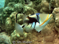 Lagoon Triggerfish at Honaunau, Hawaii. Very colorful wit... by Jim Moser