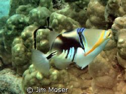 Lagoon Triggerfish at Honaunau, Hawaii. Very colorful wit... by Jim Moser