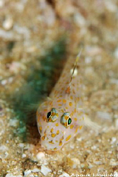 Goby. Picture taken on the second reef off Negombo, Sri L... by Anouk Houben