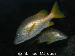 Red Snapper, Something Special, Bonaire by Abimael Márquez