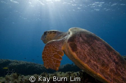 Loggerhead Turtle. This fella was massive with a span of ... by Kay Burn Lim