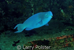 Wreck, El Anguila, 100', very blue parrot, not narc-ed, b... by Larry Polster