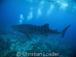 A WHALE SHARK BREATHING!?!?  hhhhmmmmm  Photo taken at ... by Christian Loader