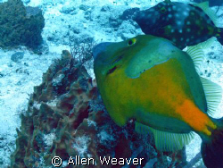 Spotted Triggerfish by Allen Weaver