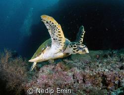 Hawksbill turtle, Nikon D200, Maledives by Nedip Emin