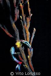 Nudibranchs - Turidilla hopei  by Vito Lorusso
