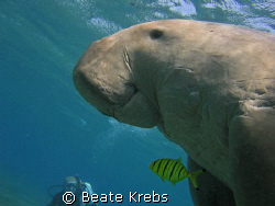 Smiling Dugong right after taking a breath, Canon S70  by Beate Krebs