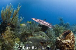 This barracuda was 4ft long and the picture was taken jus... by Kay Burn Lim