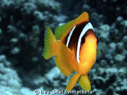 """Clown kiss"", (Amphiprion bicinctus) by Bea & Stef Primatesta"