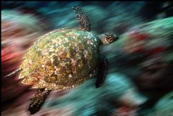 Hawksbill turtle on the move...... Housed Nikon D100 and ... by Steve Baillie