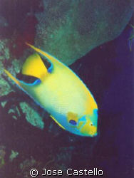 the Queen Angel Fish one of the most beautiful and colorf... by Jose Castello