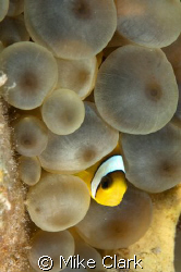 Peek a Booo, Juvenile clownfish in anemone.