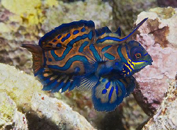 Mandarinfish from Puerto Galera, Philippines. Nikon D200 ... by Jim Chambers