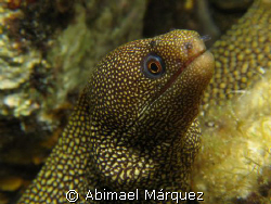 Goldentail Moray, Cozumel by Abimael Márquez