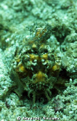 Scorpiofish. Lima Rock, Musandam, Gulf of Oman, Oman. by Alexander Nikolaev