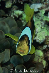 Fishs - Amphiprion bicinctus by Vito Lorusso
