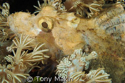 SCORPION FISH IN SOFT CORAL by Tony Makin