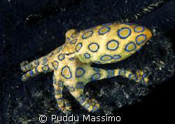 bunaken park ,indonesia nikon d2x 60mm macro Blue-ring oc... by Puddu Massimo