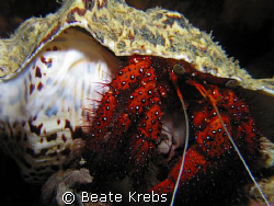 Hermit crab during a night dive, canon S70  by Beate Krebs