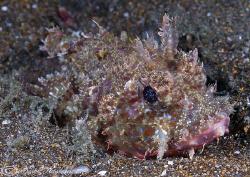 Scorpion fish. Galapagos. D200, 60mm. by Derek Haslam