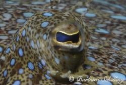 Eye to Eye with a peacock flounder in Saba! by Barbara Schilling