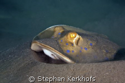 bluespotted stingray (taeniura meyeni) taken in Na'ma Bay. by Stephan Kerkhofs
