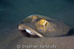 bluespotted stingray (taeniura meyeni) taken in Na'ma Bay. by Stephan Kerkhofs