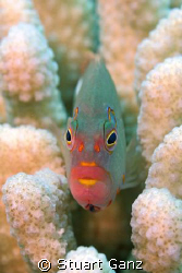 Arc-eye Hawk fish, These guys will pose for you all day. ... by Stuart Ganz