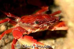 Hawaiian Swimming Crab shot this morning. Photo shoot onl... by Glenn Poulain