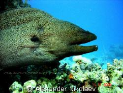 Moray size is around 8-10 ft. by Alexander Nikolaev