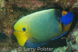 Blue face angelfish, D70s, twin D-125 strobes by Larry Polster