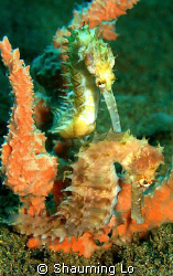 Thorny Seahorses Dauin Dumagutte at 25m. by Shauming Lo